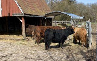 Hochlandrinder Suchsdorf Tiergehege