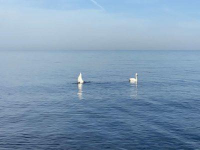Schwäne in der Ostsee
