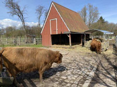 Tiergehege Suchsdorf Schottisches Hochlandrinder