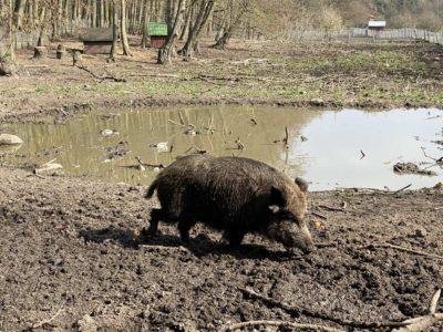 Tiergehege Tannenberg Wildschwein