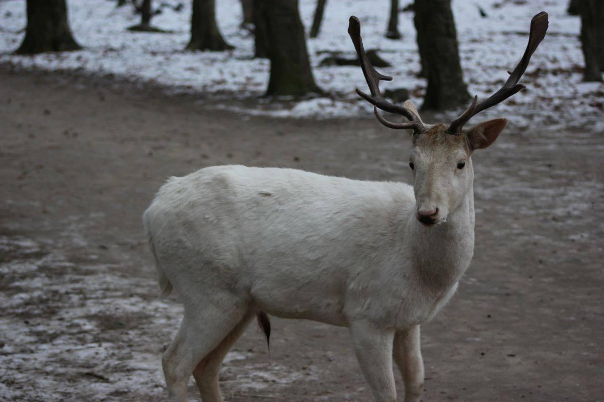 Weißer Hirsch im Projensdorfer Gehölz