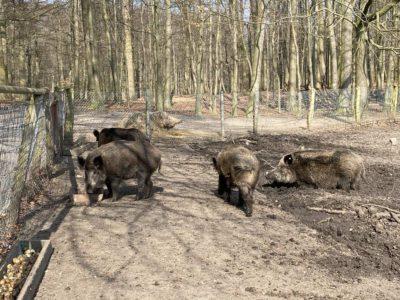 Wildschweine Tiergehege Tannenberg