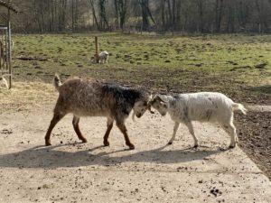 Ziegen im Tiergehege Tannenberg